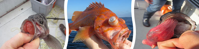 Blue rockfish with protruding stomach-enlarged photo in new window when selected, Canary rockfish with crystalized, buldging eyes-enlarged photo in new window when selected and  Blue rockfish with stomach fully protruding out of its mouth - enlarged photo will open in new window when selected
