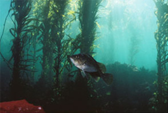 Rockfish swimming in a kelp forest.