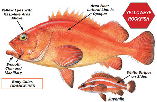 illustration of orange fish with spiny fins