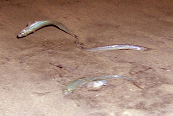 Male and female grunion perform an age-old dance on a dark, sandy beach; CDFW photo by L. Adams