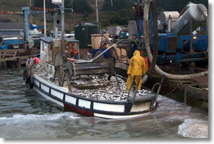 Commercial Herring Vessel Unloading in Tomales Bay, Photo Credit: Ryan Watanabe