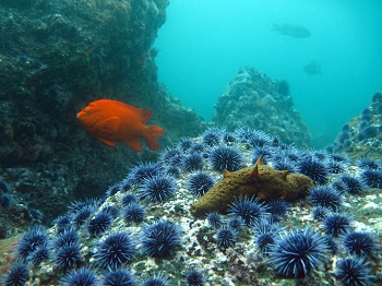 Purple Sea Urchin with Warty Sea Cucumber and Garibaldi. CDFW Photo by D. Stein