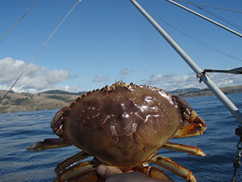 Dungeness crab. CDFW photo by C. Juhasz