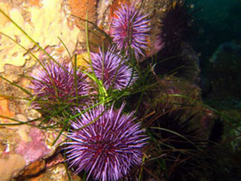 Purple urchins forage on rocky reef. CDFW photo by Derek Stein.