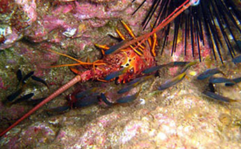A small school of fish swims over a spiny lobster. CDFW photo by Derek Stein