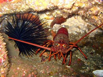 California spiny lobster and sea urchin. CDFW photo by Derek Stein