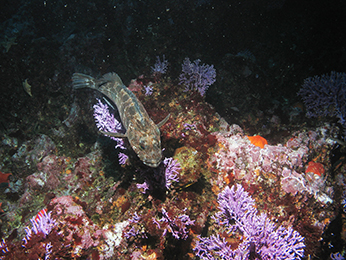 Lingcod and purple coral. Farnsworth Offshore State Marine Conservation Area. CDFW/MARE photo