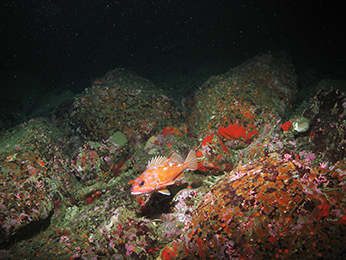 Rosy rockfish, Tolo Banks. CDFW/MARE photo