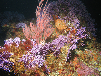 Corals and invertebrates, Farnsworth Offshore State Marine Conservation Area. CDFW/MARE photo