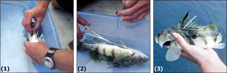 (1) With the fish immersed in a saltwater anesthetic bath, the transmitter is inserted through a small incision in the lower abdominal cavity. (2) Two to three sutures are used to close the incision. (3) Prior to release, the fish is measured and fitted with an external dart tag for easy identification upon recapture.