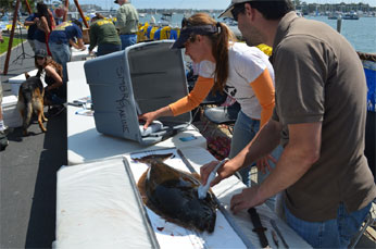 Sex determination of a California halibut using ultrasound at the 38th Annual Marina Del Rey Halibut Derby in June 2013, CDFW file photo