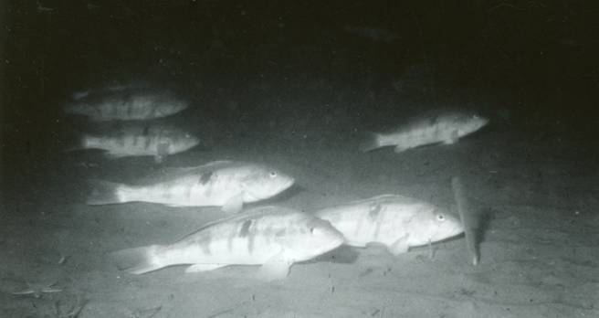 Barred sand bass 'resting' at spawning grounds. CDFW photo, circa 1961.