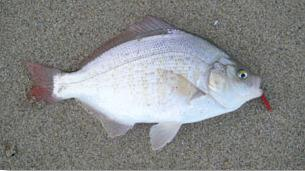 redtail surfperch, CDFW photo by Ken Oda