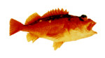 Starry Rockfish