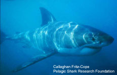 White Shark Information