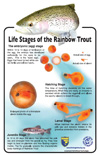 Life Stages of the Rainbow Trout poster - file opens in new window