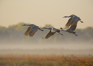 Photo of four cranes taking flight